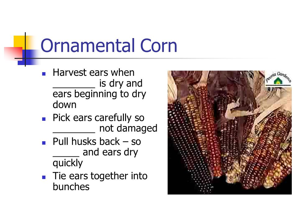 Ornamental Corn Harvest ears when ________ is dry and ears beginning to dry down Pick ears carefully so ________ not damaged Pull husks back – so _____ and ears dry quickly Tie ears together into bunches