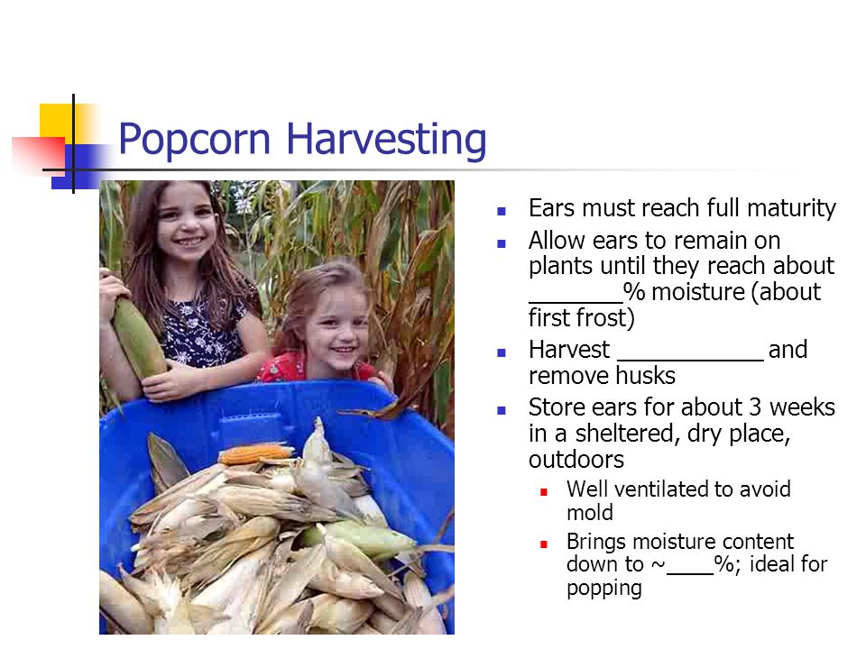 Popcorn Harvesting Ears must reach full maturity Allow ears to remain on plants until they reach about _______% moisture (about first frost) Harvest ___________ and remove husks Store ears for about 3 weeks in a sheltered, dry place, outdoors Well ventilated to avoid mold Brings moisture content down to ~____%; ideal for popping