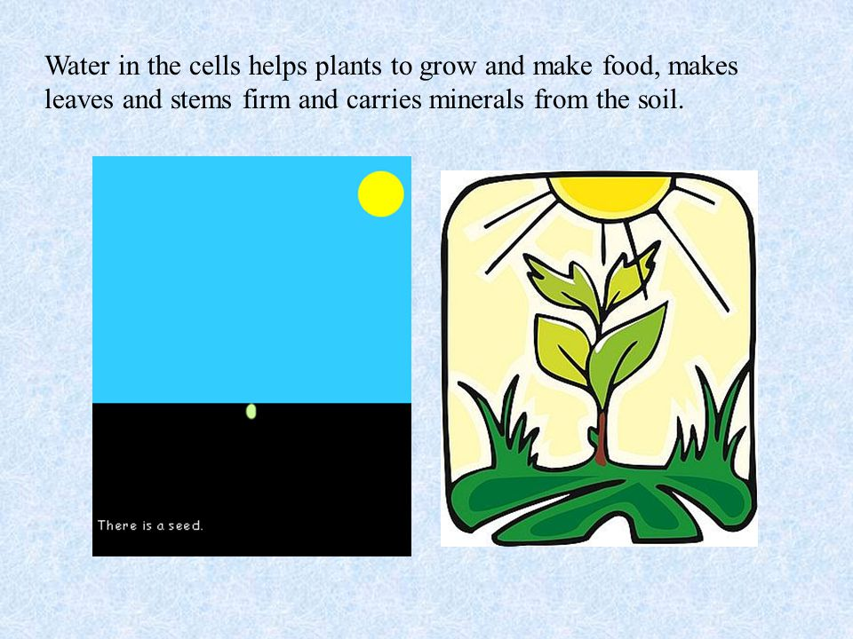 Water in the cells helps plants to grow and make food, makes leaves and stems firm and carries minerals from the soil.