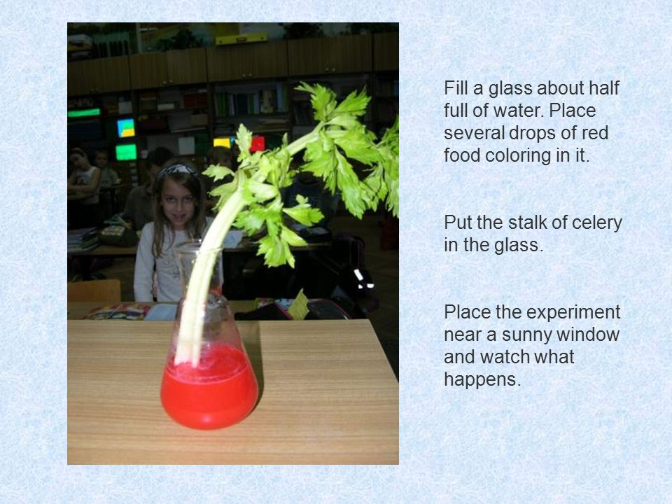 Fill a glass about half full of water. Place several drops of red food coloring in it. Put the stalk of celery in the glass. Place the experiment near