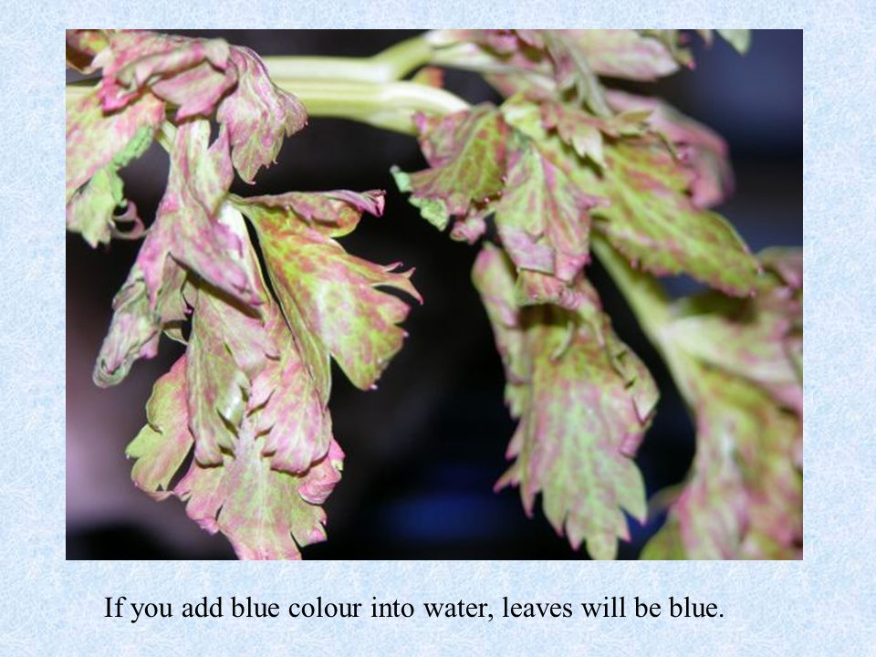 If you add blue colour into water, leaves will be blue.