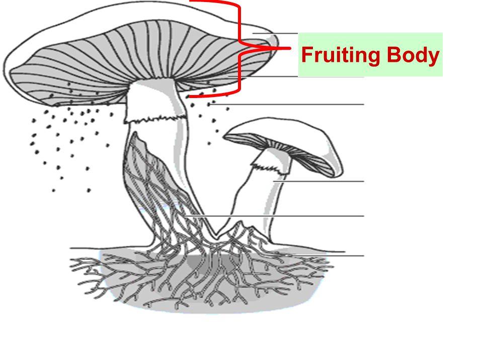 Fruiting Body