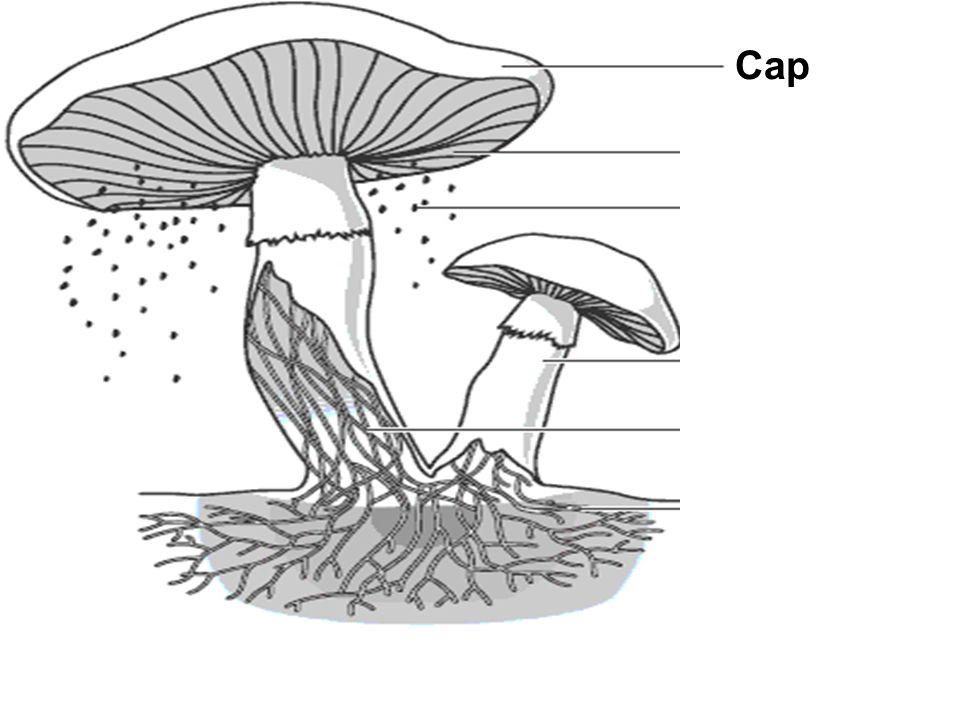 Cap Gills Spores Stalk Hyphae Tubes Underground Hyphae Tubes