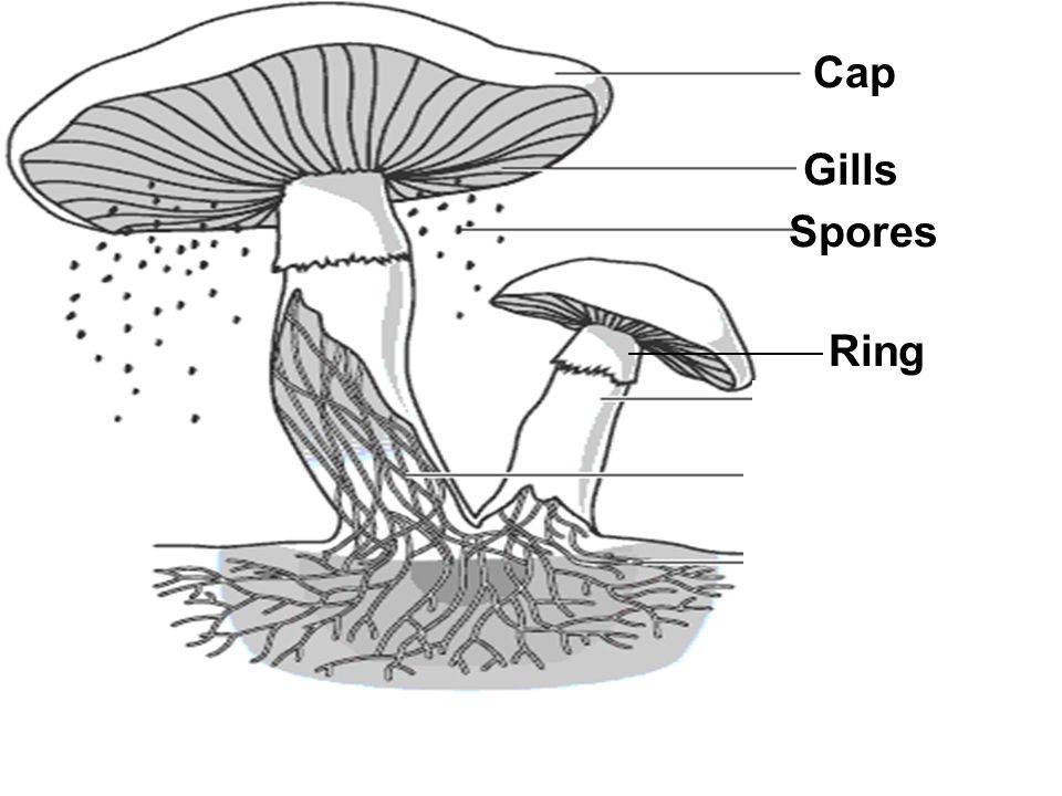 Cap Gills Spores Stalk Hyphae Tubes Underground Hyphae Tubes Ring