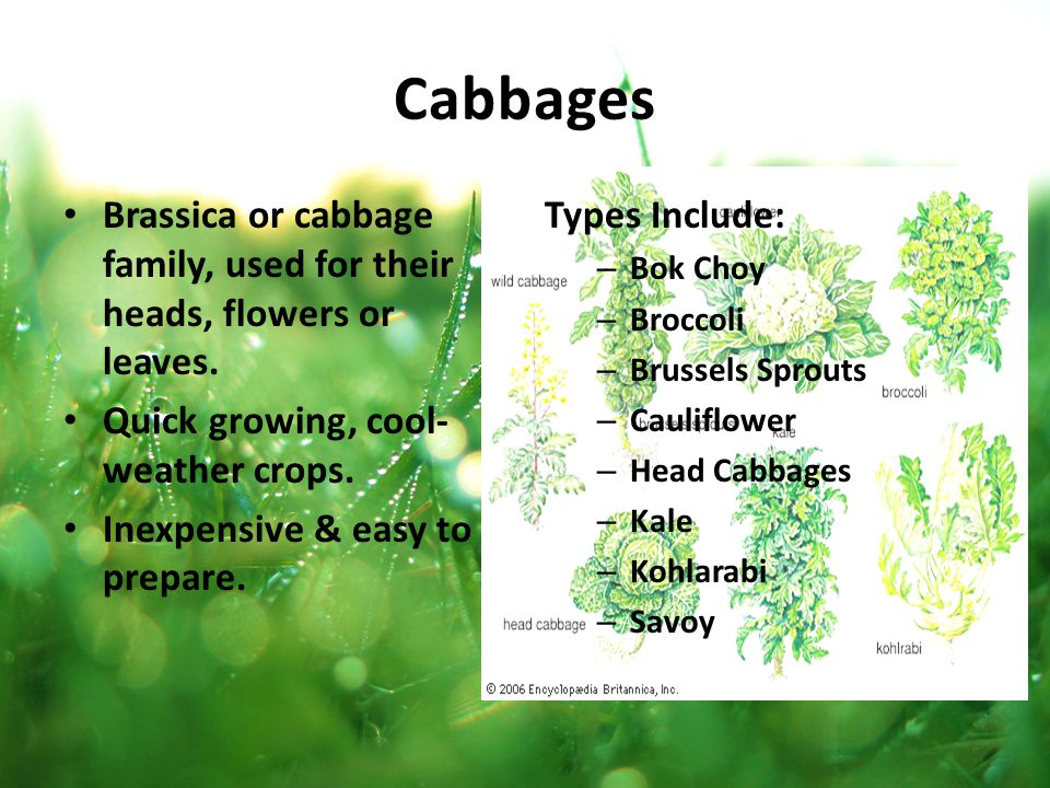 Brassica or cabbage family, used for their heads, flowers or leaves. Quick growing, cool- weather crops. Inexpensive & easy to prepare. Types Include: