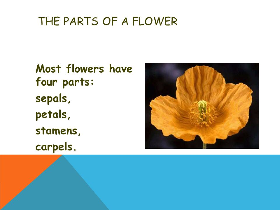 THE PARTS OF A FLOWER Most flowers have four parts: sepals, petals, stamens, carpels.
