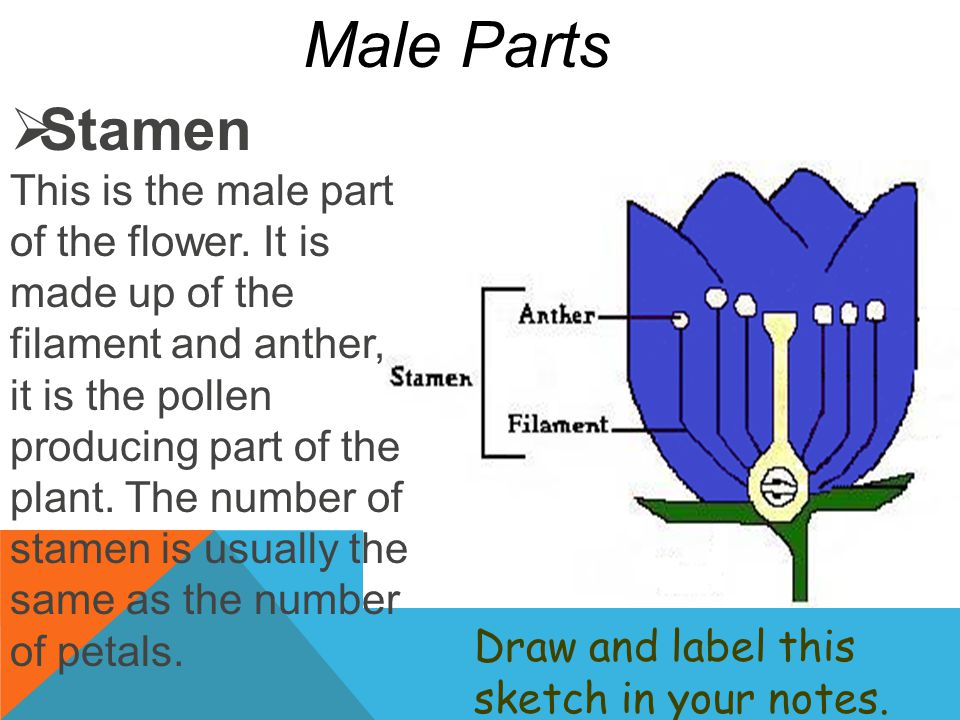 Stamen This is the male part of the flower. It is made up of the filament and anther, it is the pollen producing part of the plant. The number of st