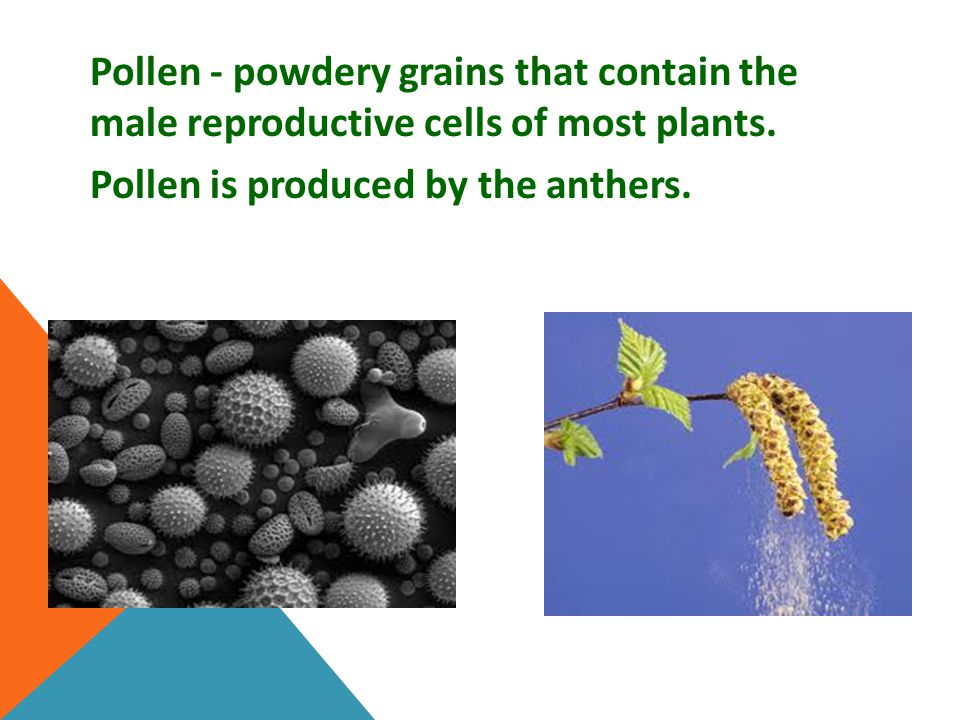 Pollen - powdery grains that contain the male reproductive cells of most plants. Pollen is produced by the anthers.