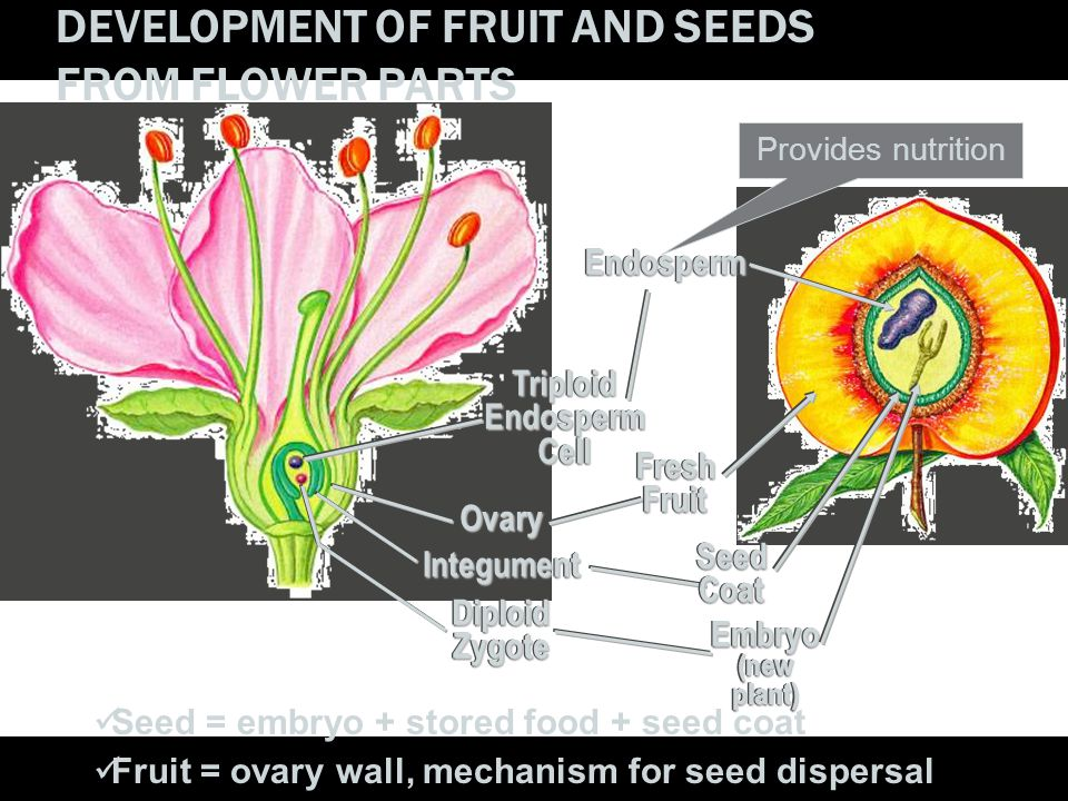 DEVELOPMENT OF FRUIT AND SEEDS FROM FLOWER PARTS TriploidEndospermCell Triploid Endosperm Cell Ovary Ovary Integument Integument Diploid Zygote Diploi