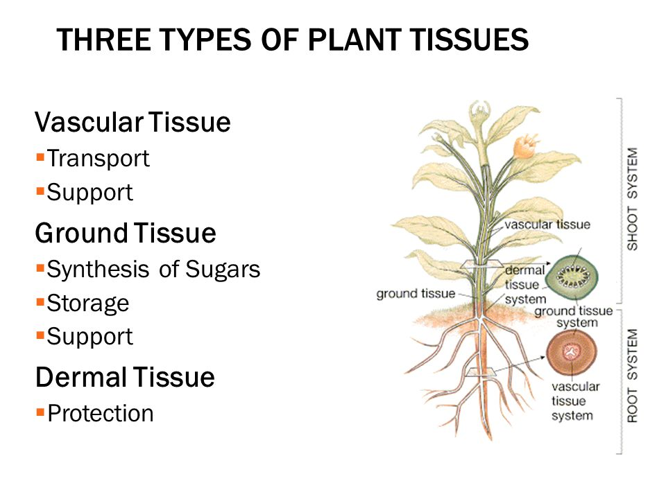THREE TYPES OF PLANT TISSUES Vascular Tissue  Transport  Support Ground Tissue  Synthesis of Sugars  Storage  Support Dermal Tissue  Protection