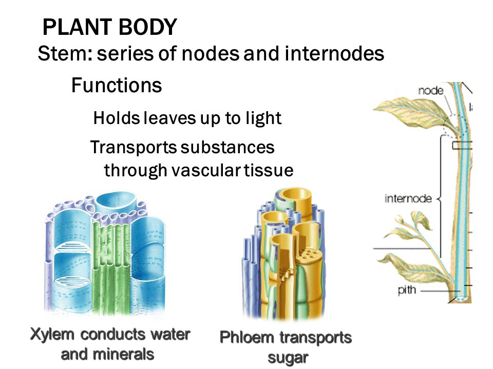 PLANT BODY Stem: series of nodes and internodes Functions Holds leaves up to light Transports substances through vascular tissue Xylem conducts water