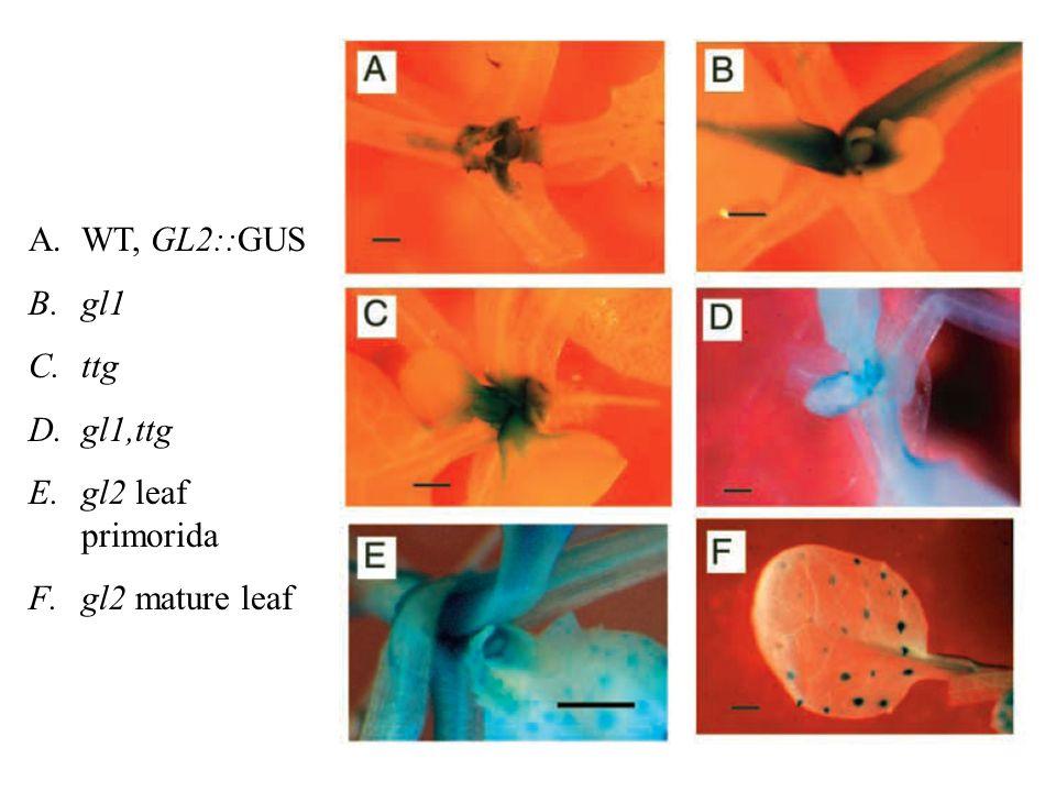 A.WT, GL2::GUS B.gl1 C.ttg D.gl1,ttg E.gl2 leaf primorida F.gl2 mature leaf