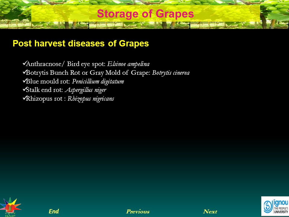 Next End Previous Storage of Grapes Post harvest diseases of Grapes Anthracnose/ Bird eye spot: Elsinoe ampelina Botrytis Bunch Rot or Gray Mold of Grape: Botrytis cinerea Blue mould rot: Penicillium digitatum Stalk end rot: Aspergillus niger Rhizopus rot : Rhizopus nigricans