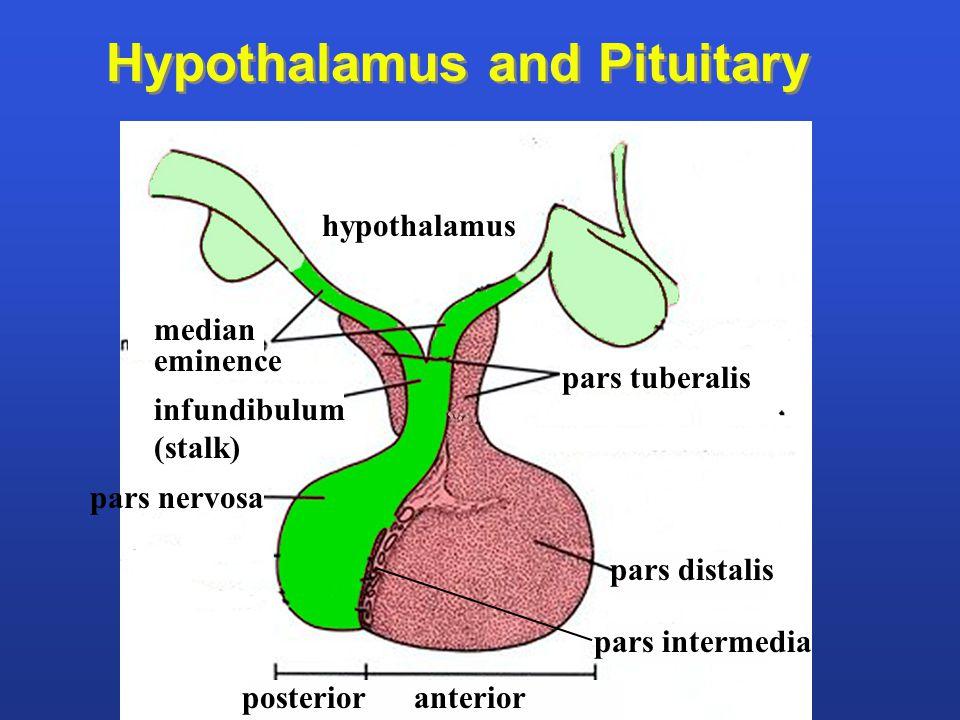 pars tuberalis median eminence hypothalamus infundibulum (stalk) pars nervosa pars distalis pars intermedia Hypothalamus and Pituitary posterior anter