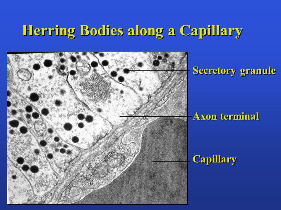 Herring Bodies along a Capillary Secretory granule Axon terminal Capillary Secretory granule Axon terminal Capillary