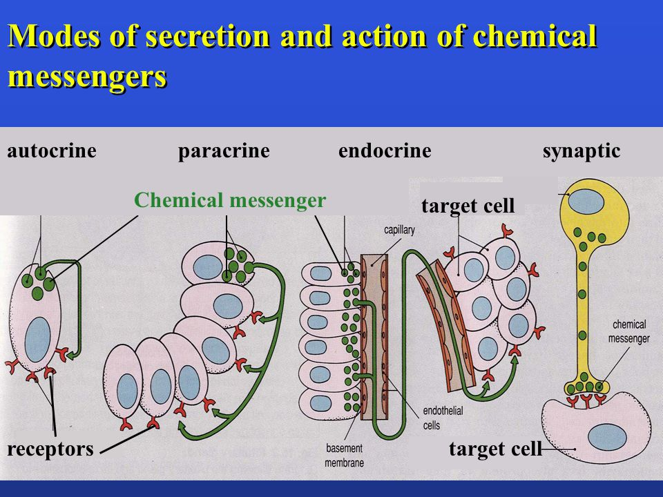 Parafollicular cells in the thyroid