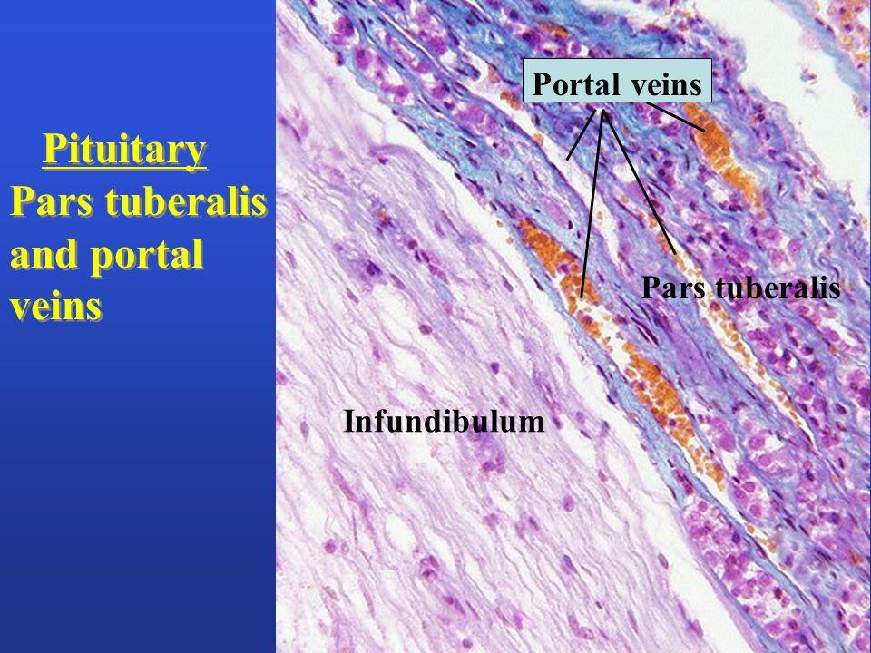 Infundibulum Pars tuberalis Pituitary Pars tuberalis and portal veins Pituitary Pars tuberalis and portal veins Portal veins
