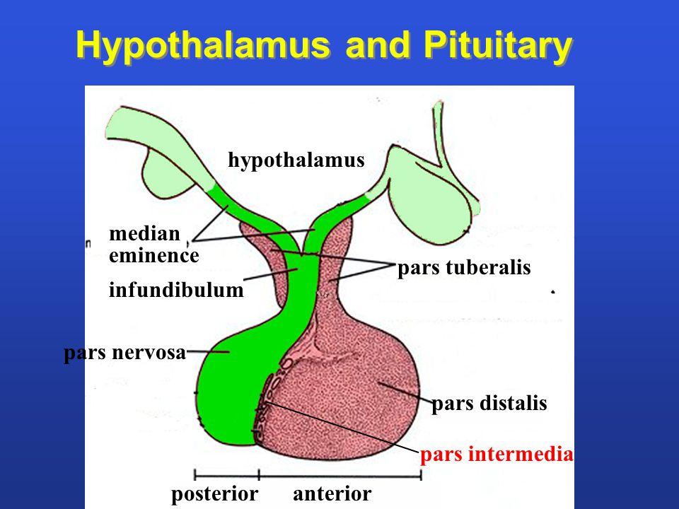pars tuberalis median eminence hypothalamus infundibulum pars nervosa pars distalis pars intermedia Hypothalamus and Pituitary posterior anterior