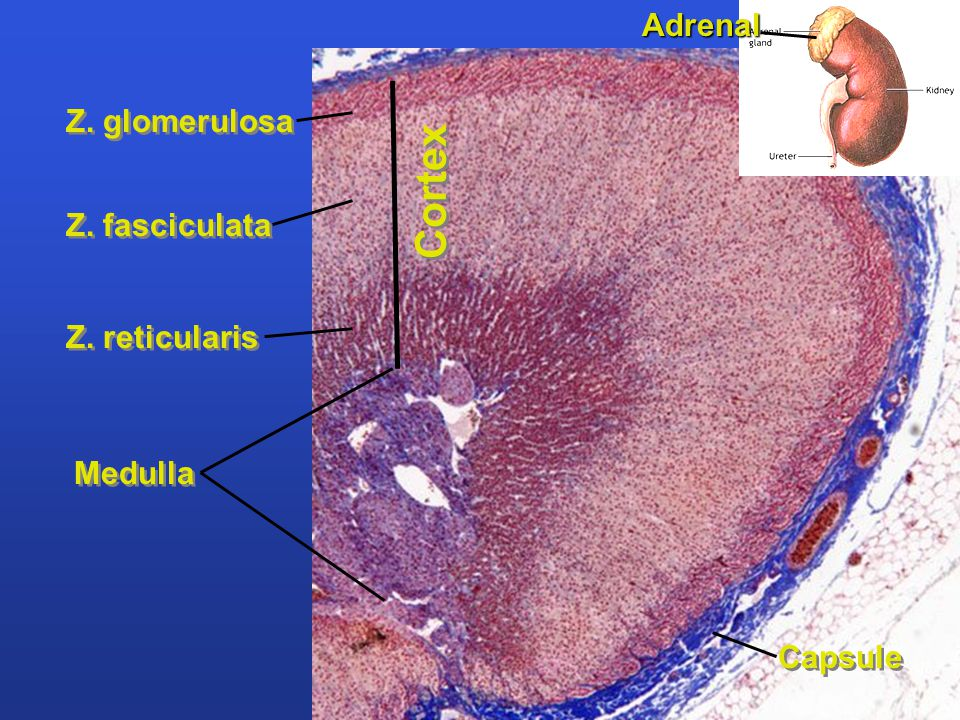 Z. glomerulosa Z. fasciculata Z. reticularis Medulla Capsule Cortex Adrenal