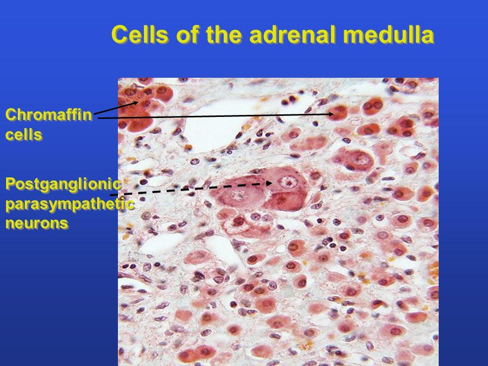 Chromaffin cells Chromaffin cells Postganglionic parasympathetic neurons Postganglionic parasympathetic neurons Cells of the adrenal medulla
