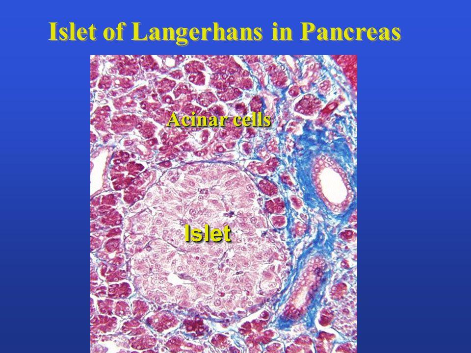 Islet of Langerhans in Pancreas IsletIslet Acinar cells