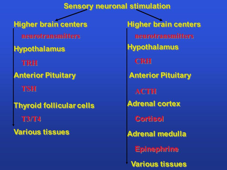 pars tuberalis median eminence hypothalamus infundibulum (stalk) pars nervosa pars distalis pars intermedia Hypothalamus and Pituitary posterior anterior