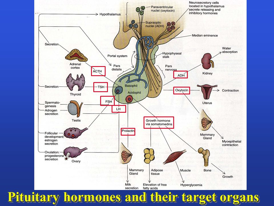 Pituitary hormones and their target organs