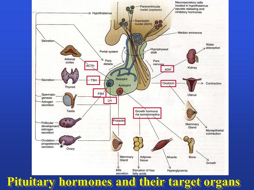 Development of the pituitary gland infundibulum (stalk) median eminence hypothalamus pars nervosa