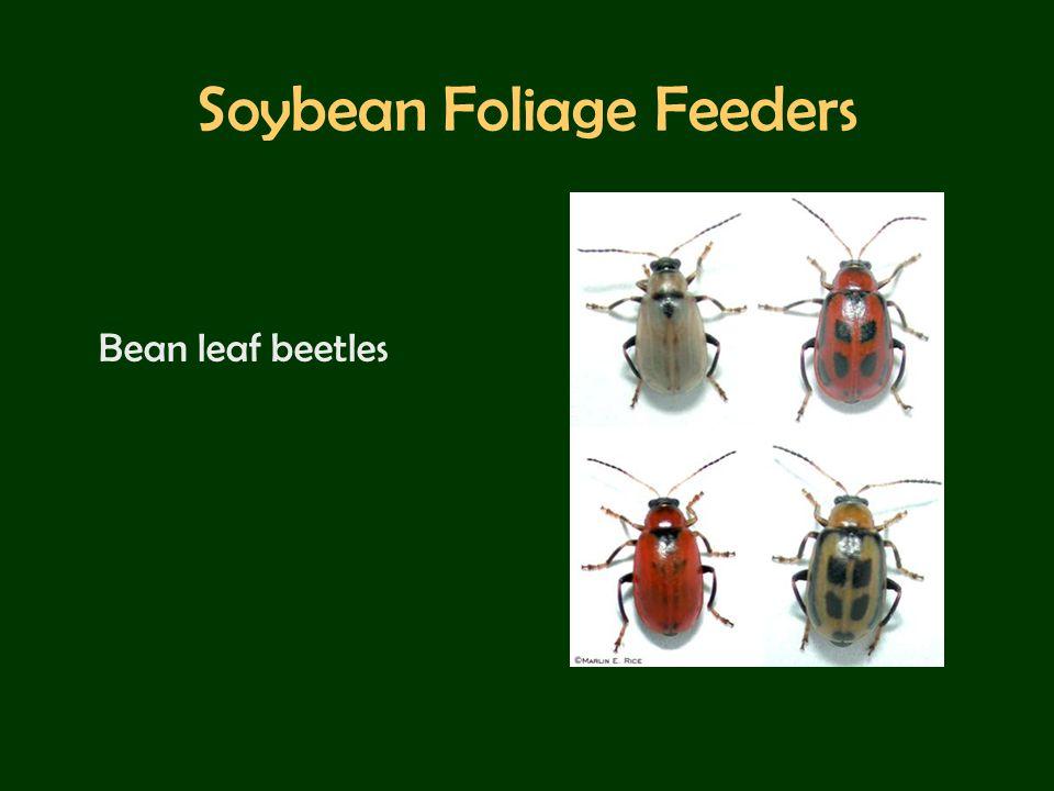 Soybean Foliage Feeders Bean leaf beetles