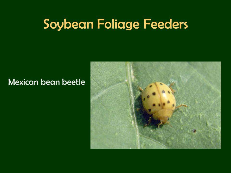 Soybean Foliage Feeders Mexican bean beetle