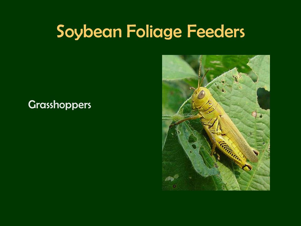 Soybean Foliage Feeders Grasshoppers