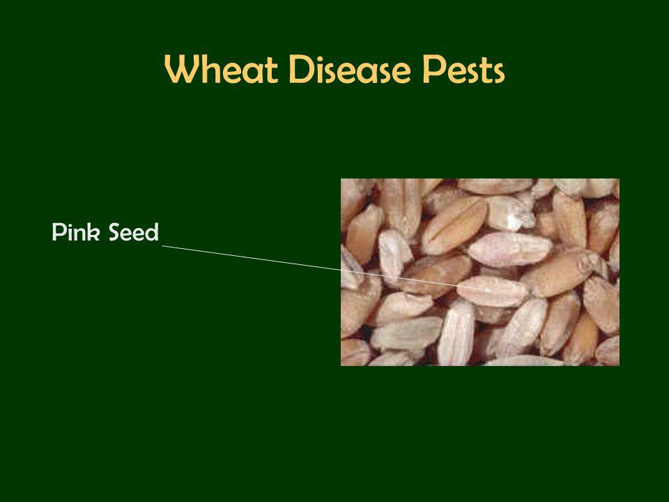 Wheat Disease Pests Bacterial Mosaic