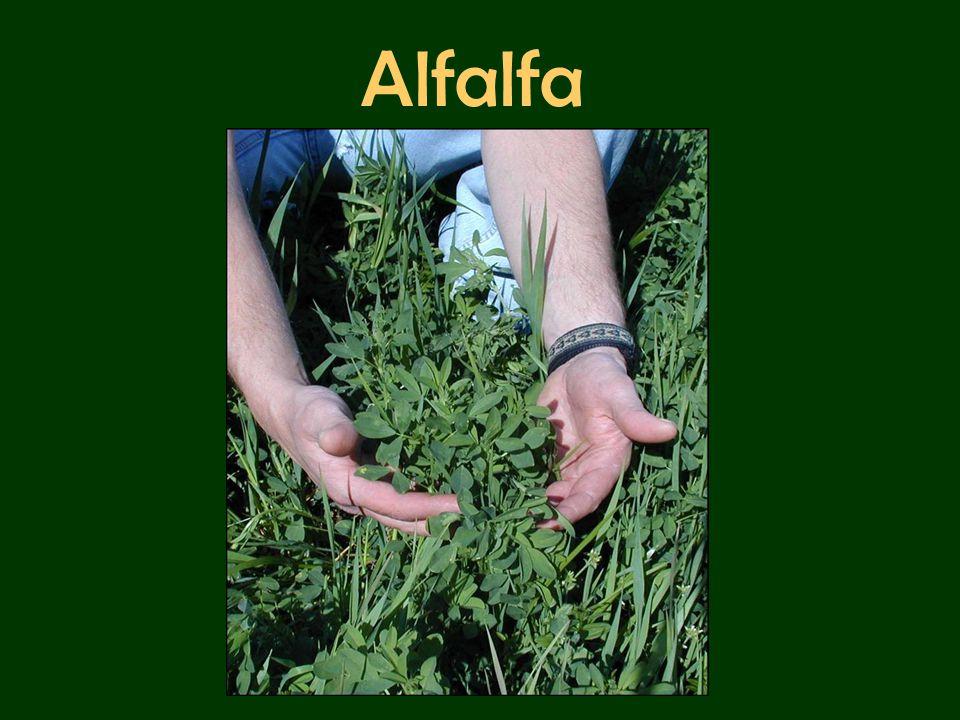 Alfalfa History Alfalfa is a cool season plant that can re- grow each year.