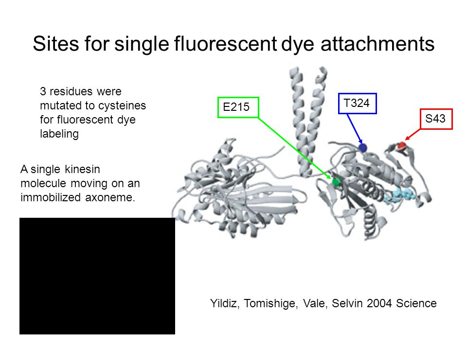 Sites for single fluorescent dye attachments Yildiz, Tomishige, Vale, Selvin 2004 Science S43 E215 T324 3 residues were mutated to cysteines for fluorescent dye labeling A single kinesin molecule moving on an immobilized axoneme.