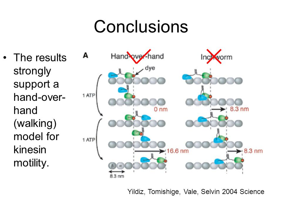 Conclusions The results strongly support a hand-over- hand (walking) model for kinesin motility.