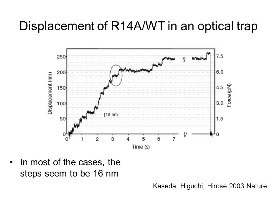 Displacement of R14A/WT in an optical trap In most of the cases, the steps seem to be 16 nm Kaseda, Higuchi, Hirose 2003 Nature