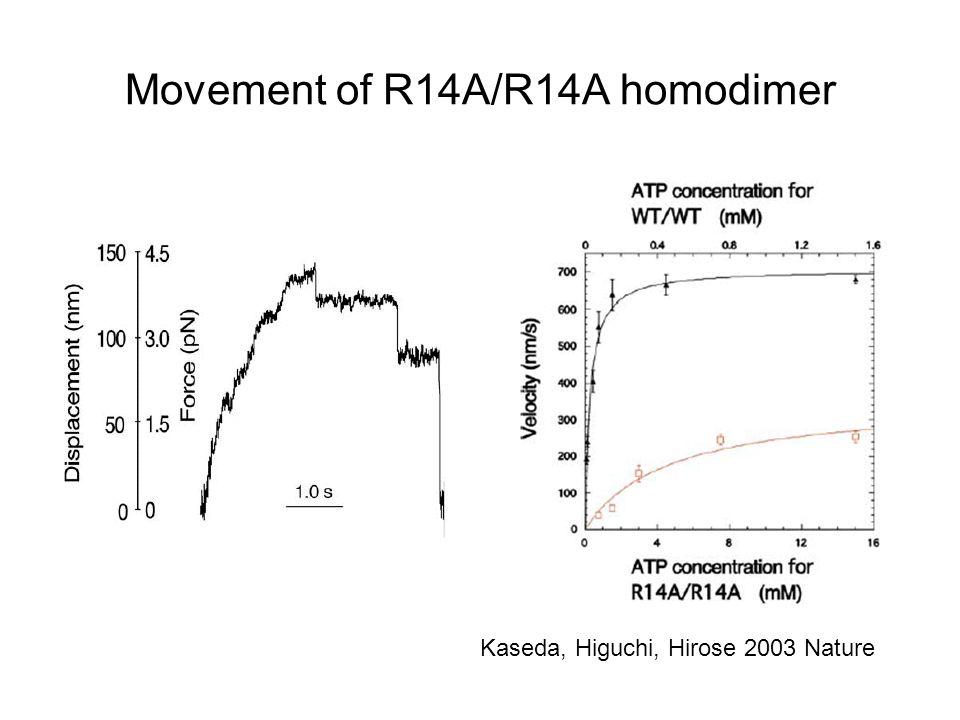 Movement of R14A/R14A homodimer Kaseda, Higuchi, Hirose 2003 Nature
