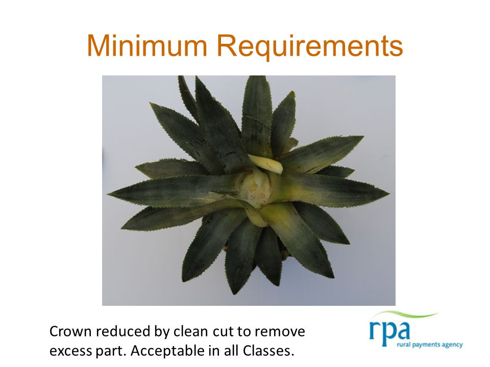 Minimum Requirements Crown reduced by clean cut to remove excess part. Acceptable in all Classes.