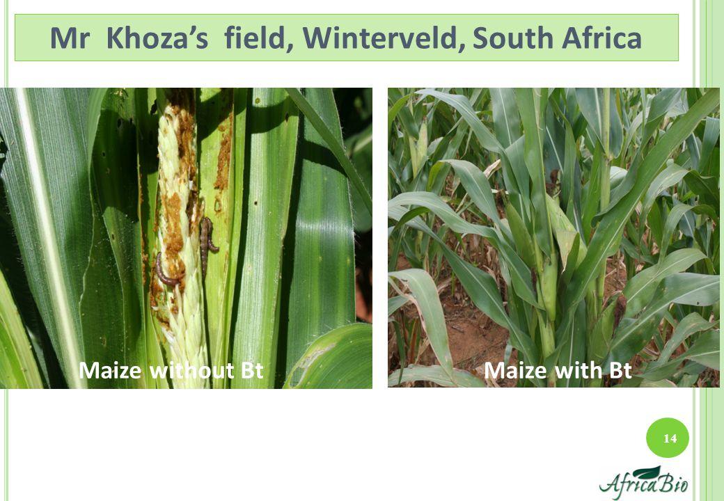 Maize with BtMaize without Bt 14 Mr Khoza's field, Winterveld, South Africa