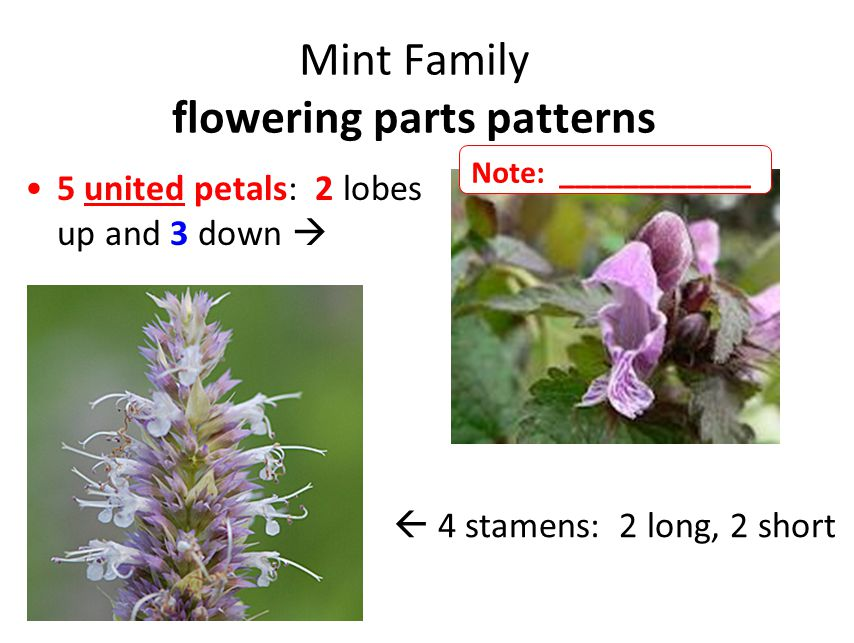 Mint Family flowering parts patterns 5 united petals: 2 lobes up and 3 down   4 stamens: 2 long, 2 short Note: ____________