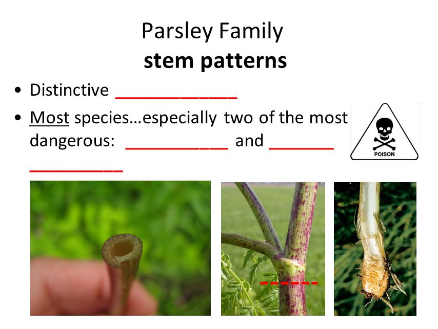 Distinctive _____________ Most species…especially two of the most dangerous: ___________ and _______ __________ Parsley Family stem patterns