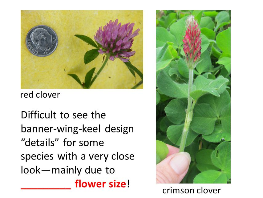 crimson clover red clover Difficult to see the banner-wing-keel design details for some species with a very close look—mainly due to _________ flower size!