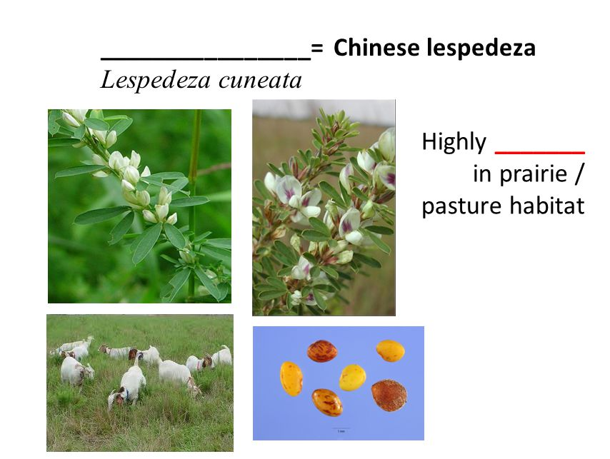 ________________= Chinese lespedeza Lespedeza cuneata Highly _______ in prairie / pasture habitat
