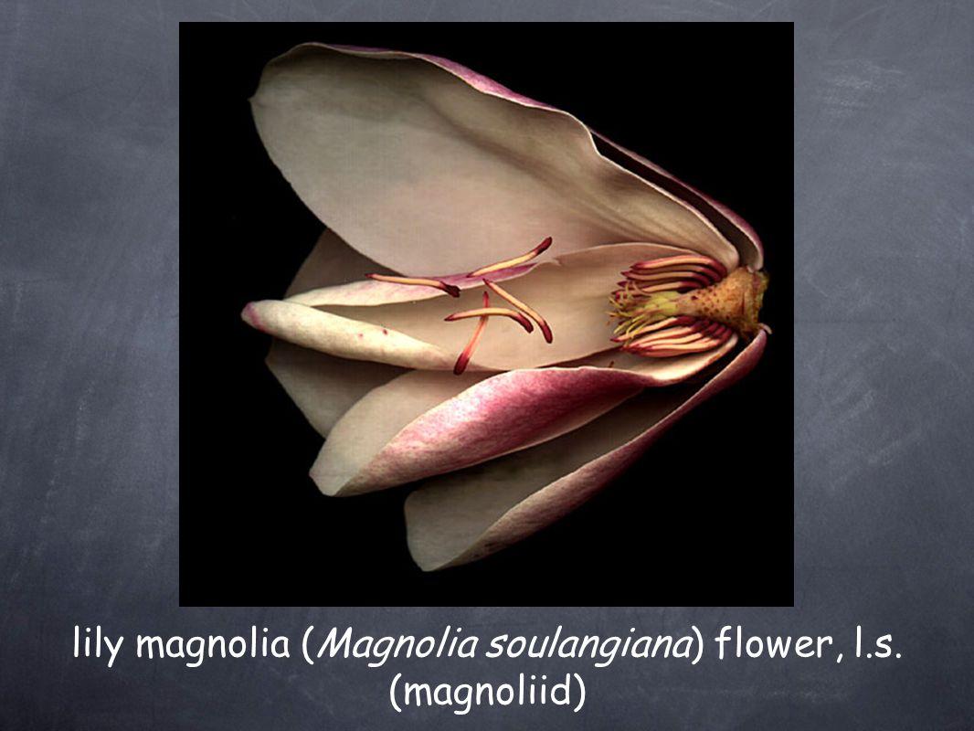 Flower Components— Fertile, Male stamen - male reproductive structure filament - slender stalk-like structure anther - region of pollen sacs