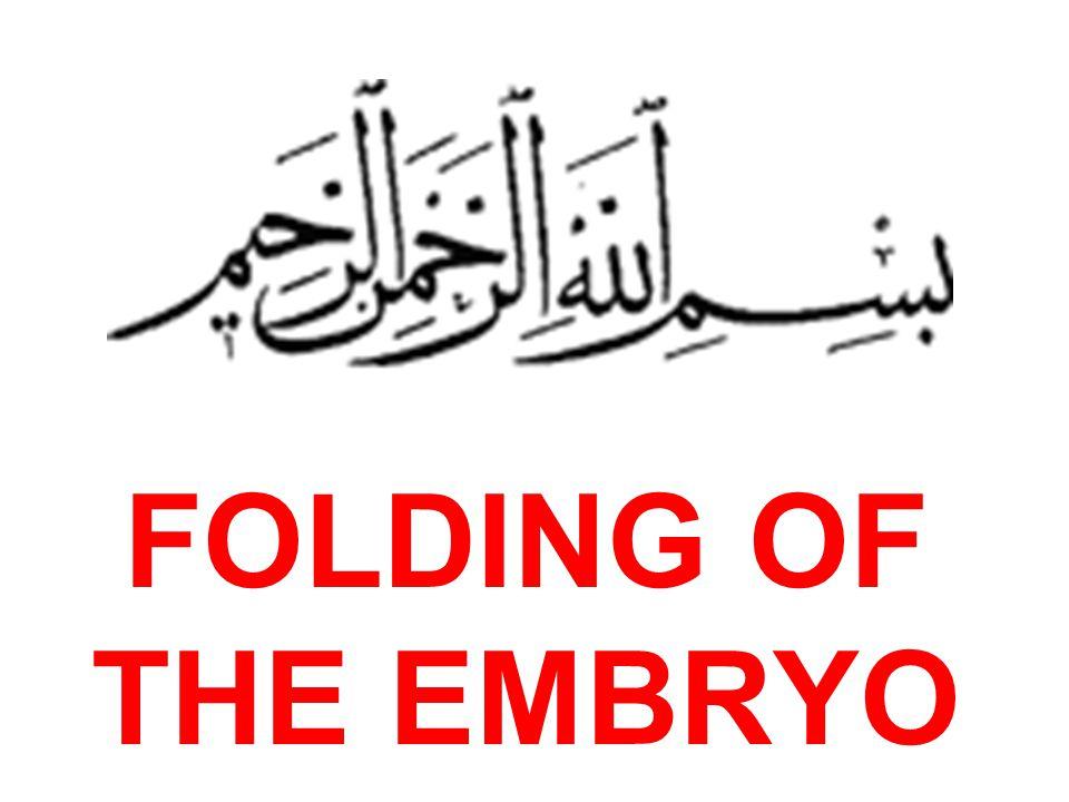 Developing embryo during 4 th week Longitudinal and Transverse foldings are in process