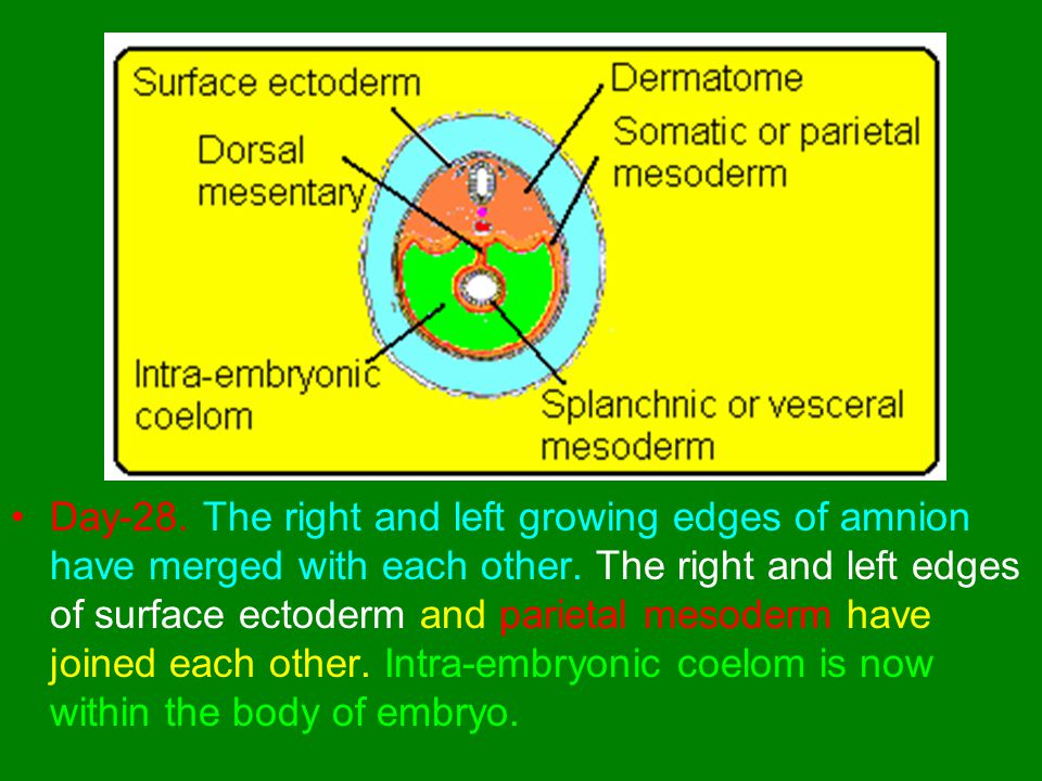 Day-28. The right and left growing edges of amnion have merged with each other. The right and left edges of surface ectoderm and parietal mesoderm hav