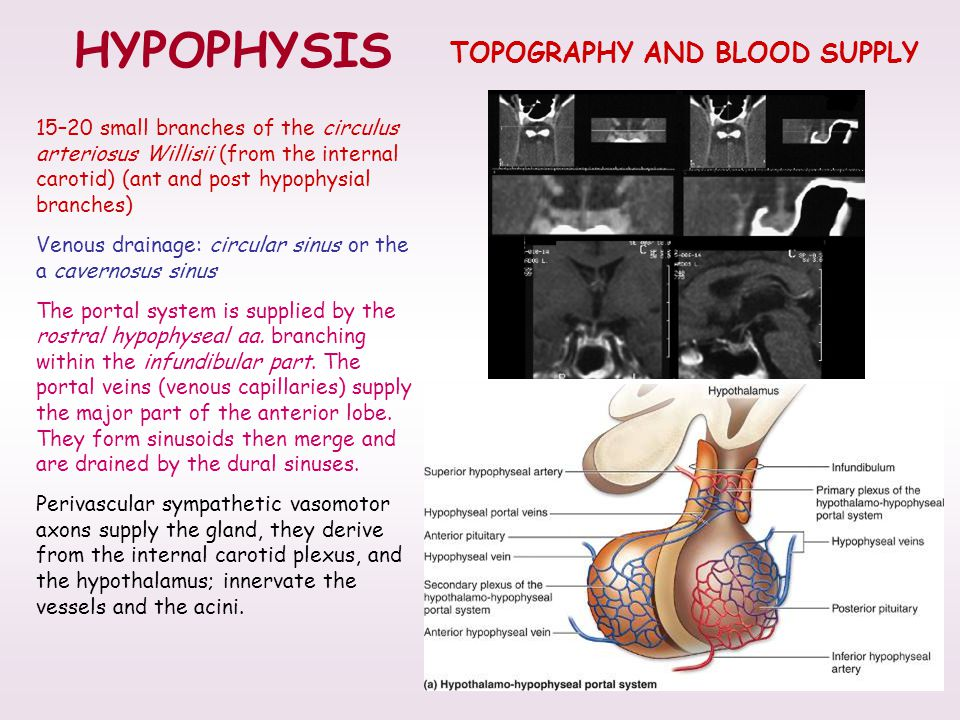 TOPOGRAPHY AND BLOOD SUPPLY HYPOPHYSIS 15–20 small branches of the circulus arteriosus Willisii (from the internal carotid) (ant and post hypophysial branches) Venous drainage: circular sinus or the a cavernosus sinus The portal system is supplied by the rostral hypophyseal aa.