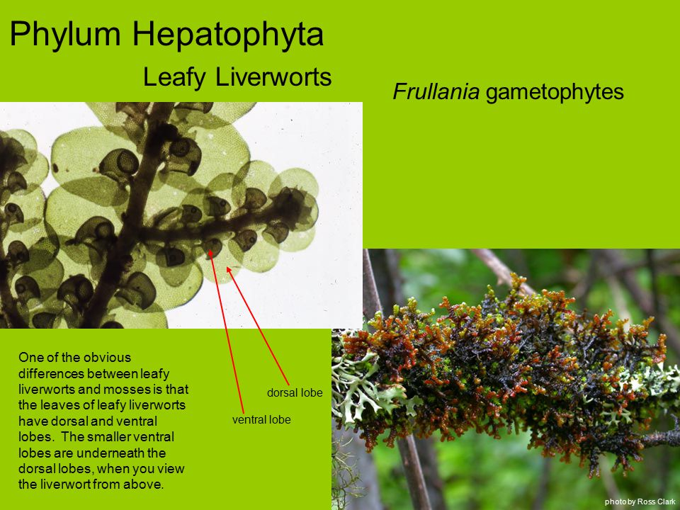 Phylum Hepatophyta Leafy Liverworts Frullania gametophytes photo by Ross Clark One of the obvious differences between leafy liverworts and mosses is that the leaves of leafy liverworts have dorsal and ventral lobes.