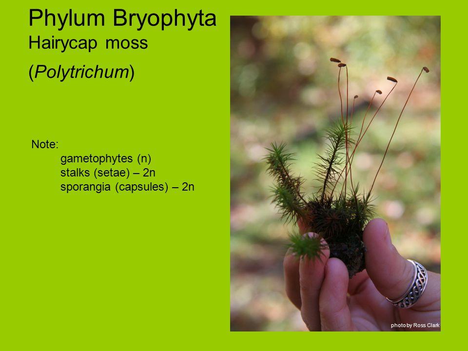 Phylum Bryophyta Hairycap moss (Polytrichum) Note: gametophytes (n) stalks (setae) – 2n sporangia (capsules) – 2n photo by Ross Clark