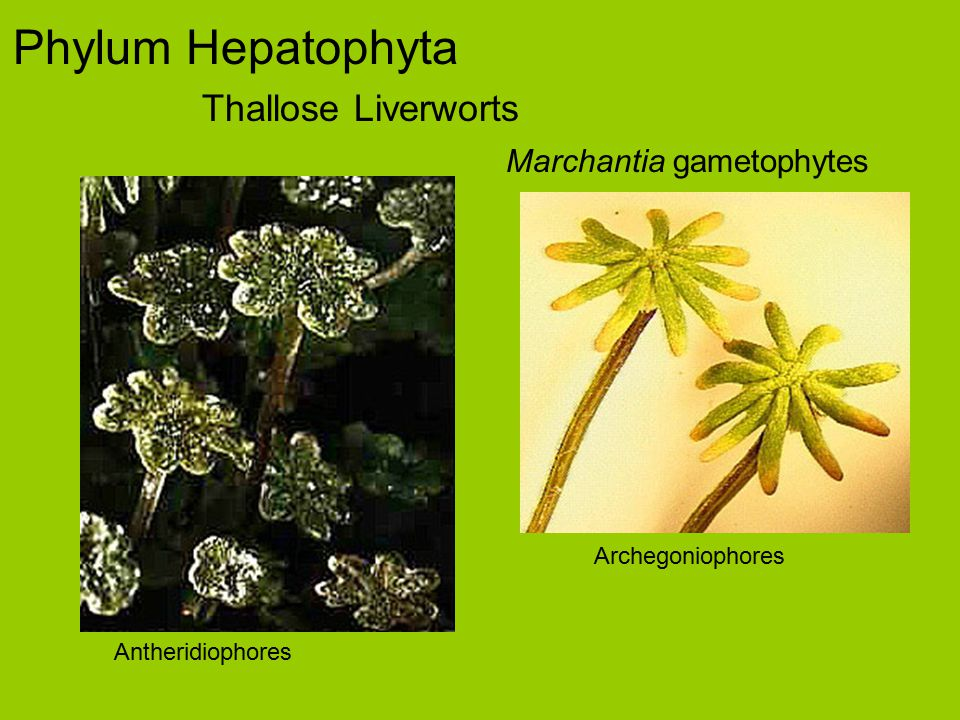 Phylum Hepatophyta Thallose Liverworts Marchantia gametophyte cross sections scalesrhizoids (note pegs) air pore storage tissue (nonphotosynthetic) photosynthetic tissue photo by Ross Clark